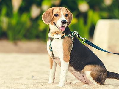 beagle-dog-breeds-for-a-family