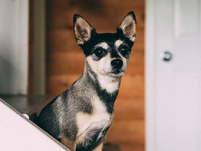 chihuahua-dog-breeds-for-a-family