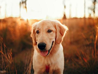 golden-retriever-dog-breeds-for-a-family