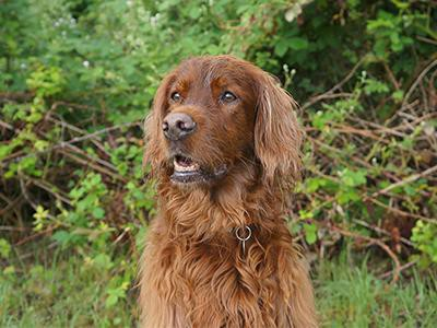 irish-setter-dog-breeds-for-a-family