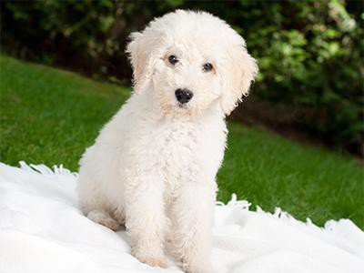 labradoodle-dog-breeds-for-a-family