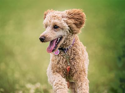 poodle-dog-breeds-for-a-family