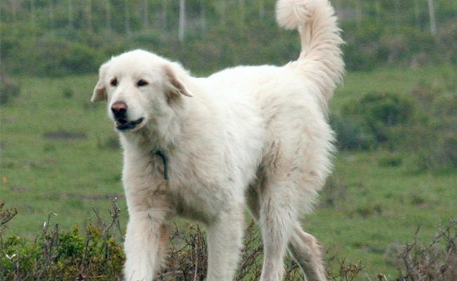 akbash-dog-temperament