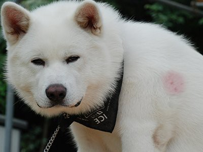 akita-immune-system-disorders-that-affect-the-skin