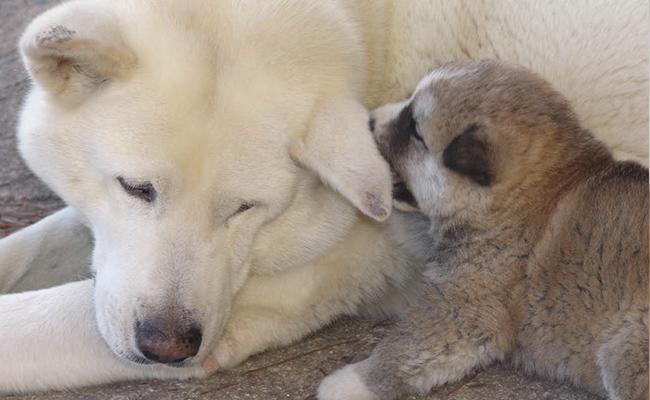 akita-puppy-coat-color