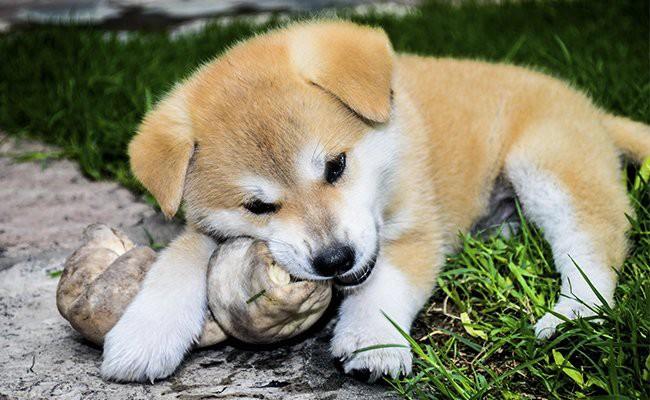 akita-puppy-food