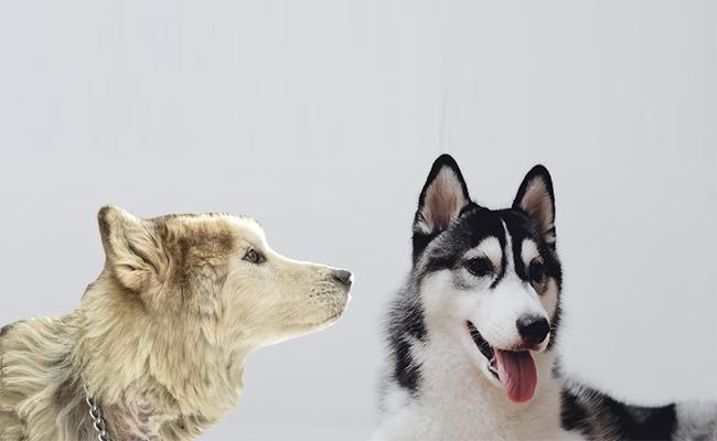 coat-colors Alaskan Malamute Vs Husky