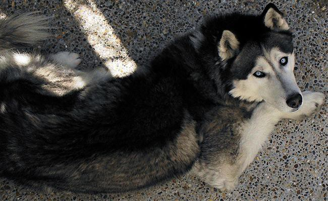 siberian-husky-an-overwiew