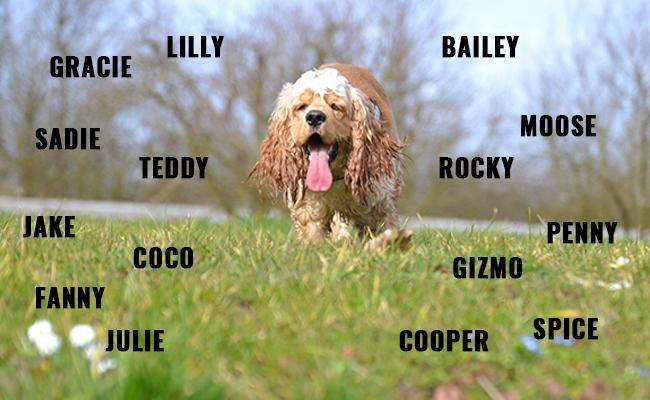 American Cocker Spaniel Names