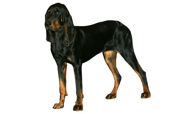 black-and-tan-coonhound-american-dogs