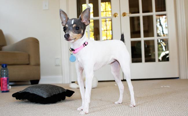 toy-fox-terrier-american-dogs