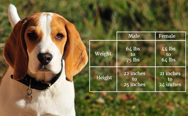 american-foxhound-sizeweight