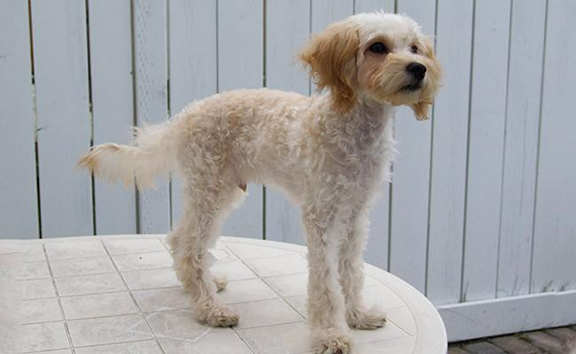 is-maltipoo-hypoallergenic-as-claimed