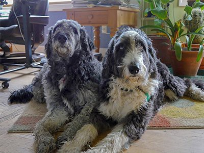 facts-about-aussiedoodle-bred