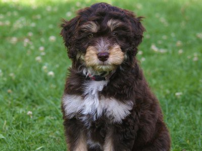 facts-about-aussiedoodle