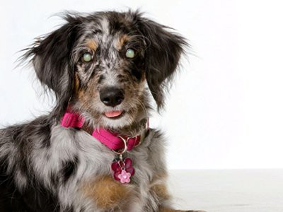 retinal-distrophy-facts-about-aussiedoodle