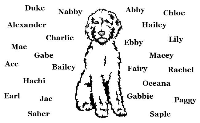 australian-labradoodle-names
