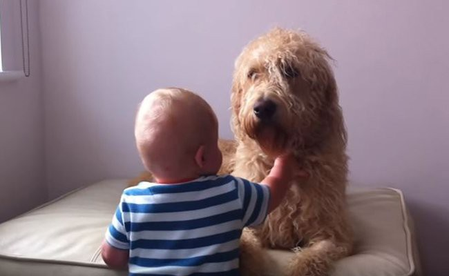 australian-labradoodle-personality-and-temperament