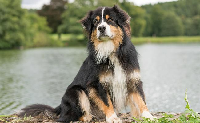 male-australian-shepherd-names
