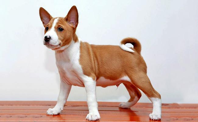 basenji-breed-characteristics-sheet