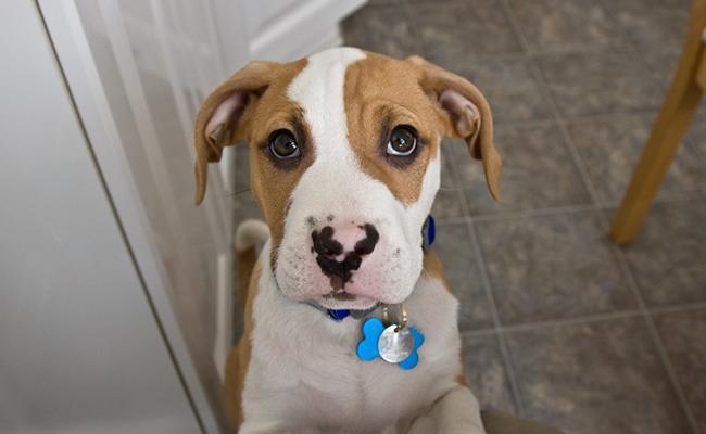 beagle-bulldog-mix-fact