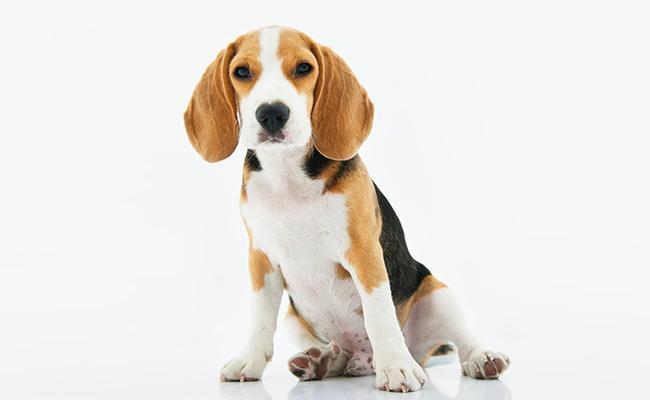 cute-beagle-names