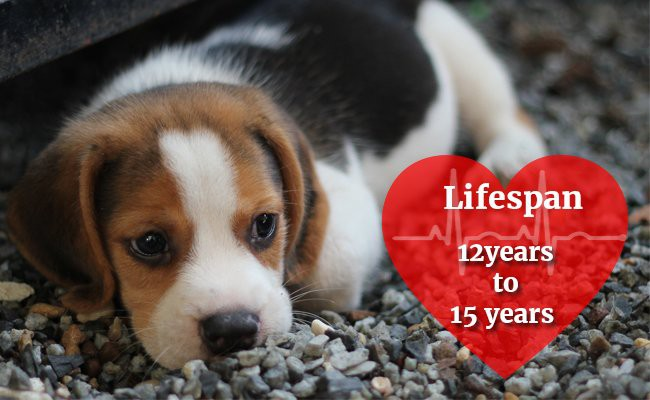 beagle-lifespan