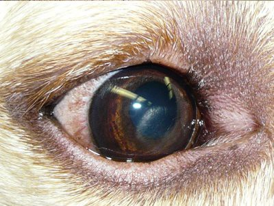 beagle-puppies-corneal-dystrophy