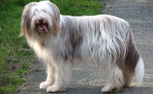 bearded-collie-sizes-weight