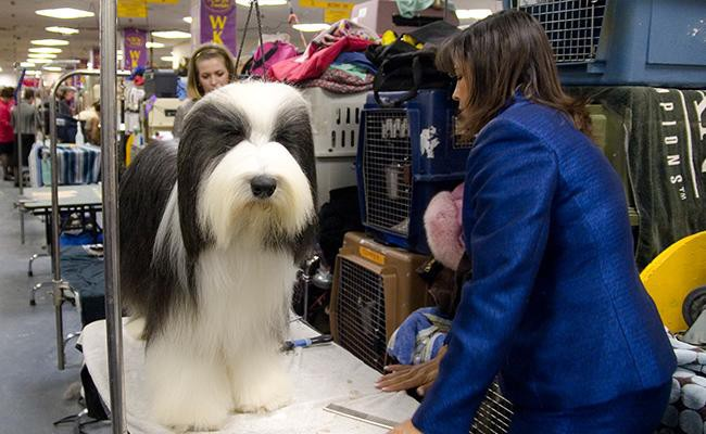 grooming-and-shedding-bearded-collie