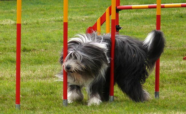 how-to-train-a-bearded-collie