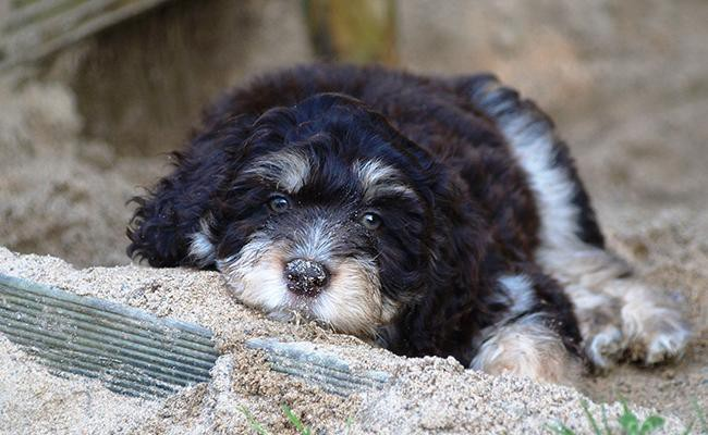 finding-a-suitable-aussiedoodle-puppy