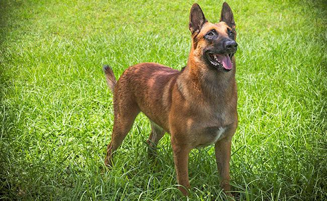 size-weight-of-a-belgian-malinois