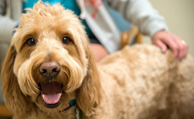 benefits-of-administering-benadryl-in-dogs