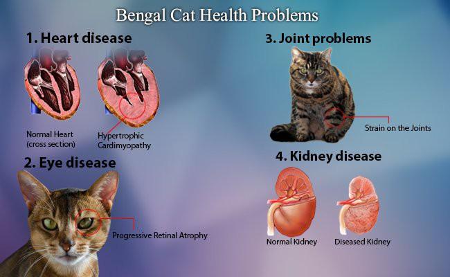 bengal-cat-health-problems