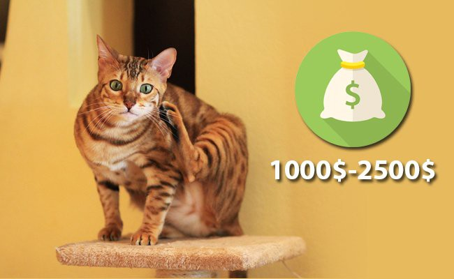 cost-of-bengal-cat-in-usa
