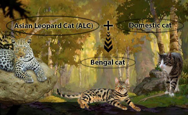history - Bengal Cats