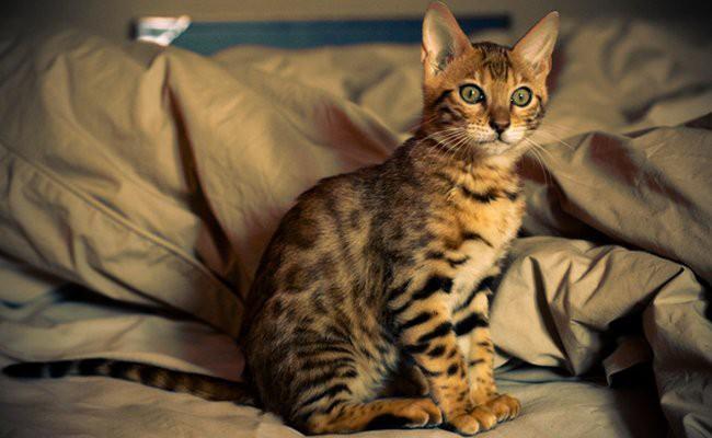 information-on-breeding-cat