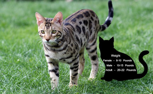 size - Bengal Cats