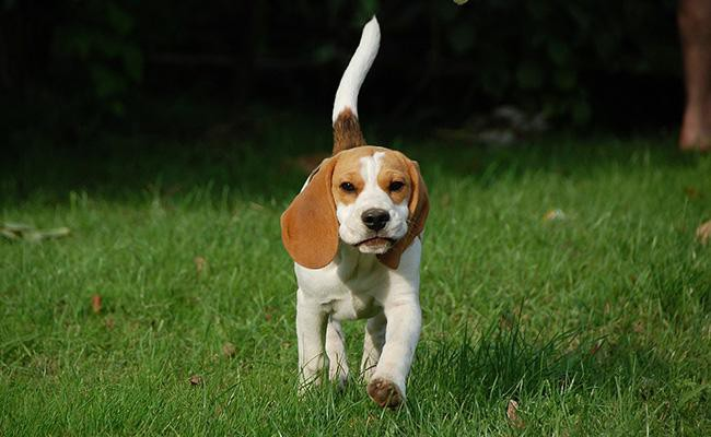 beagle-best-dog-breeds-for-cats