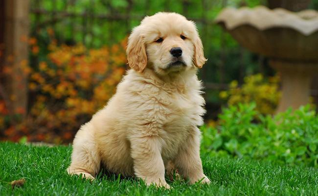 golden-retriever-best-dog-breeds-for-cats