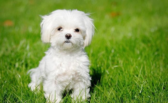 maltese-best-dog-breeds-for-cats