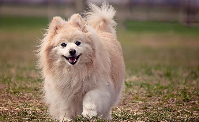 pomeranian-best-dog-breeds-for-cats