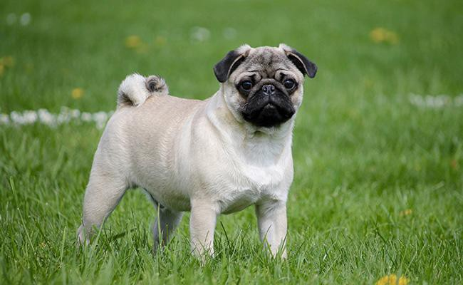 pug-best-dog-breeds-for-cats