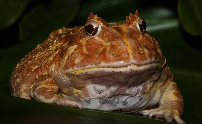 pacman-frog-best-frogs-for-first-time-frog-pet-owners.jpg