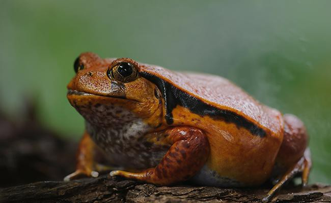 tomato-frog-best-frogs-for-first-time-frog-pet-owners