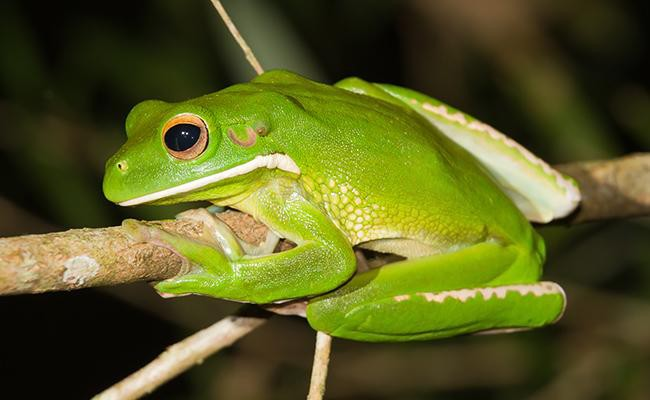whites-tree-frog-best-frogs-for-first-time-frog-pet-owners