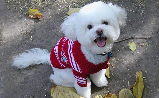 bichon-poodle-coat-color-and-appearance