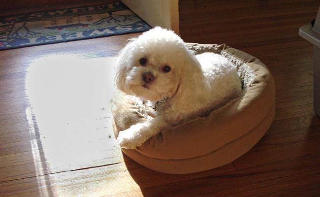bichon-poodle-origin-history
