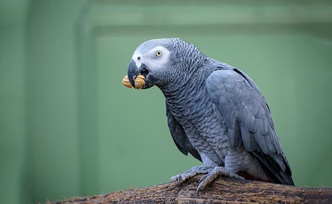 african-grey-parrots-bird-pets